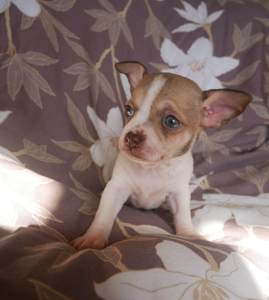 chihuahua, hvalpe, 8 uger