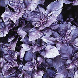 500-DARK-OPAL-BASIL-Purple-Basilicum-Herb-Seeds-Gift