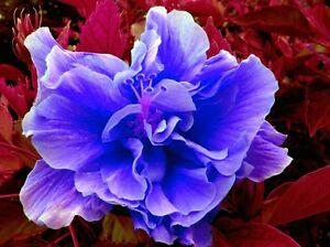 Hibiscus Bluelilac Double Flower Fresh Seeds Fast Germination