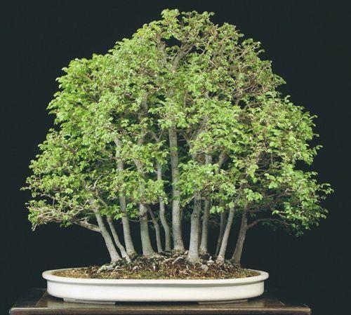 Ulmus parvifolia 15 x chinois orme graines