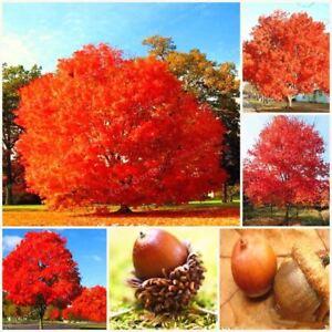 On-Sale-10-Pcs-Rare-Red-Oak-Tree-Seeds-Bonsai-Seeds-Quercus-Alba-Acorns-Seeds-Fo