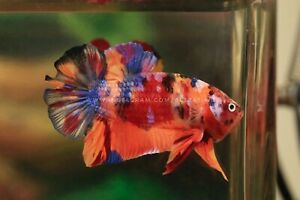 Live Betta Fish (MALE) CANDY NEMO #GIANT19-07 HEAT PACK INCLUDED IN YOUR ORDER