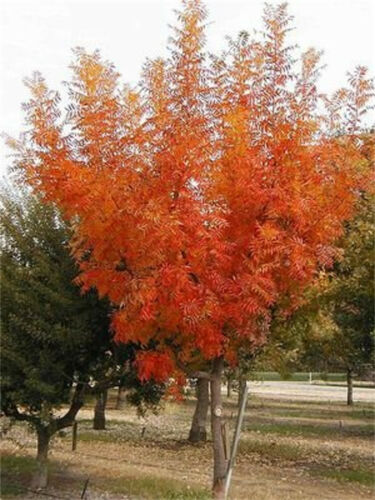 Hardy Chinese Bonsai Pistach Tree 20//100//500 Seeds From USA Pistacia Chinensis