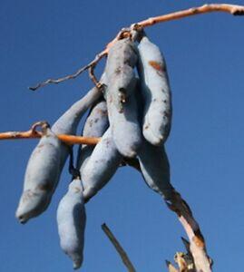 Decaisnea Fargesii blaugurkenbaum Accroche: 8 graines blaugurke blauschote