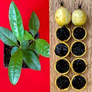Blackberry-Jam-Fruit-Randia-Formosa-Potted-PLANT-Tropical-Tree-Jasmin-de-Rosa