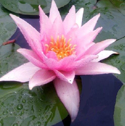 Tolle Rosa Duft-Seerose Nymphaea Masaniello Eine Rose für eine Wasserschale