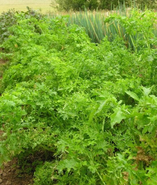 Salat, Asiasalat Feathergreen 0,5 g - zertifiziertes Biosaatgut - Pflücksalat