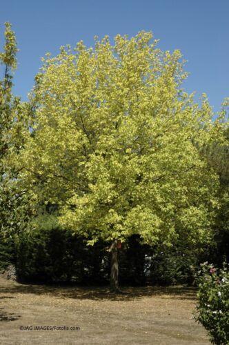 Zimtahorn Acer griseum Baum 30 Samen MENGENRABATT !!!