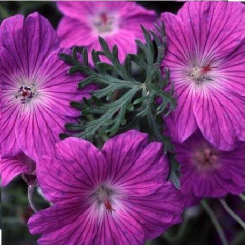 10 graines Fleur-Géranium robustum-Argent Manteau