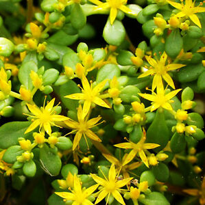 50 sedum lineare seeds stonecrop yellow rattle garden flowers ebay image is loading 50 sedum lineare seeds stonecrop yellow rattle garden mightylinksfo