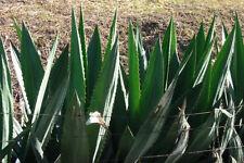 Aloe Vera Oil - nature's cure all & anti-wrinkle - 4 oz