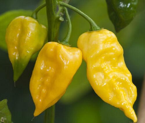 600 Lemon Habanero Pepper Seeds BULK SEEDS