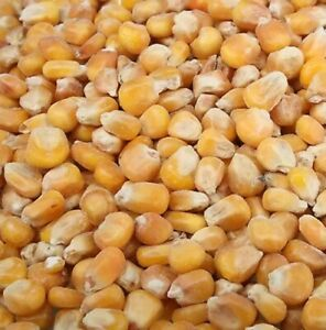 5kg whole FRENCH MAIZE fishing sweetcorn,for bait freepost