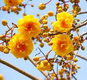 * Oncle Chan * 10 Graines Double Jaune Fleur Arbre Cochlospermum Blomming Jardin-afficher Le Titre D'origine Bon Pour AntipyréTique Et Sucette De La Gorge