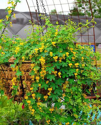 CANARY NASTURTIUM - 12 seeds - Tropaeolum peregrinum - Flower