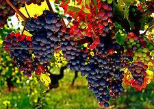 Imported Grapes Bonsai Tree Seeds/ Good Quality Fruit Seeds 10 Pcs/bag