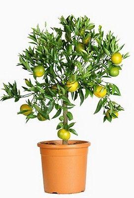 Deliziosa Freschezza Mandarini Direttamente Dal Tuo Salotto-albero Stesso Raccolti!-m Selber Ernten ! It-it Ultima Moda