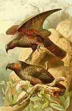 A4 Photo Natural History 1896 Kaka Parrots Print Poster