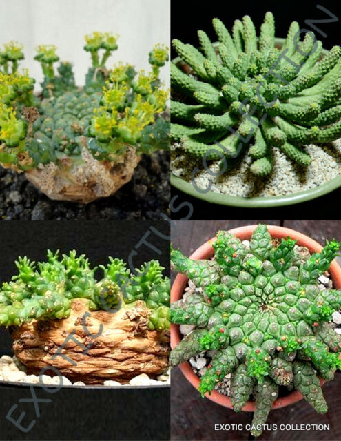 KALANCHOE variety mix @@ rare plant exotic succulent seed flowering pot 50 seeds