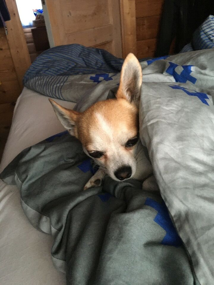 Chichauchau, hund, 5 år