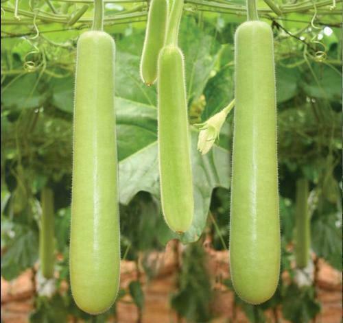 Edible Long bottle gourd//Asian Opo Squash//Dudi//calabash//long melon//Sorakaya seed