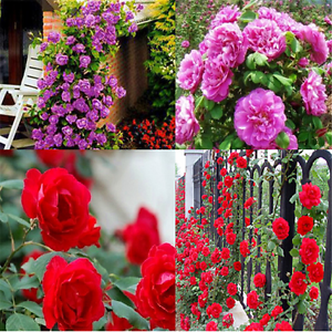 100PCS-Charm-Climbing-Rose-Seeds-Rosa-Multiflora-Perennial-Fragrant-Flower-TR