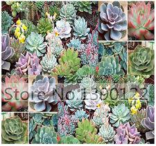 Desert Rose Mix Echeveria Species  Excellent SEEDS Gorgeous Array Of Colors HQ