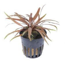 Tropica Cryptocoryne albida Brown Wasserkelch Wasserpflanze *gewässert*