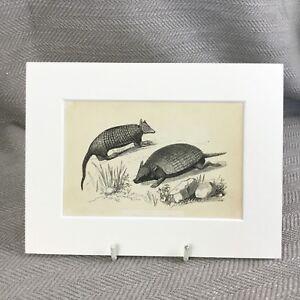 1853 Armadillo Wild Animali Naturale Storia Vittoriano Antico Originale Stampa