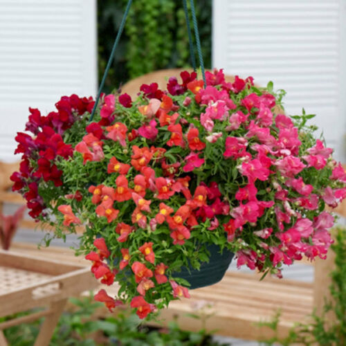 Snapdragon Seeds Candy Showers Mix 15 Multi Pelleted Seeds Trailing