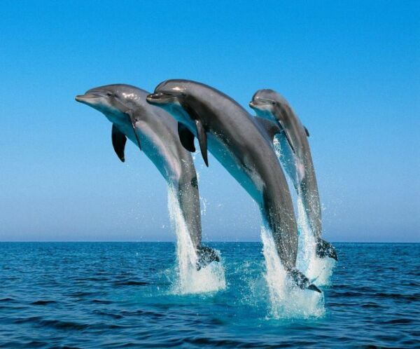 2019 Nieuwe Stijl Jumping Bottlenose Dolphins - Fantastic Picture On A New Mouse Mat Stevige Constructie