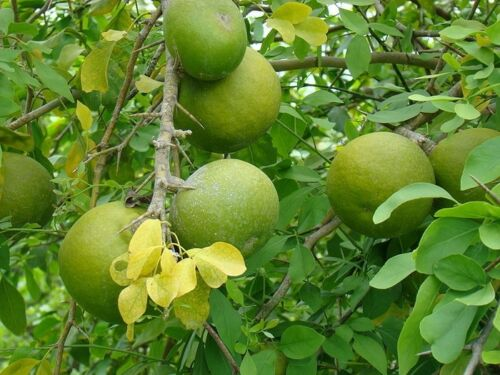 Golden Apple 100 Aegle marmelos Seeds Stone Apple,Bael  Seeds Bengal Quince