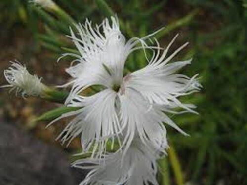 Superbus White 100 Seeds Dianthus