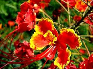 Mexican-Bird-of-Paradise-Red-Caesalpinia-Pulcherrima-x-5-seeds-Flowering-shrub