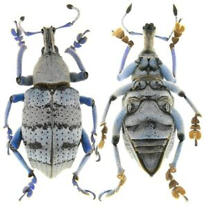 Insect-Beetles-Curculionidae-Eupholus-amalulu-28-mm-PNG