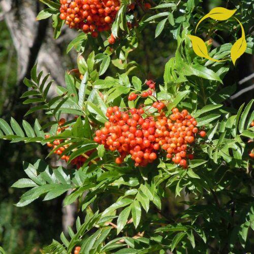 WESTERN MOUNTAIN ASH Sorbus Scopulina 25,100 SEEDS