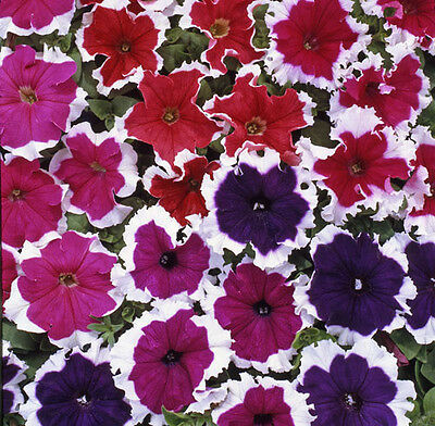 Flower - Petunia - Express Ice Mixed F1 - 250 Pelleted Seeds - Large