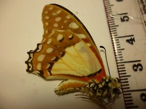 Real Dried Insect/Butterfly Non set B4029 Graphium angolanus Colourful/Africa