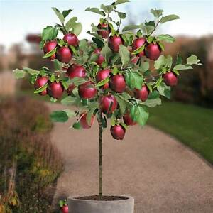 dwarf apple tree seeds red spur delicious miniature. Black Bedroom Furniture Sets. Home Design Ideas