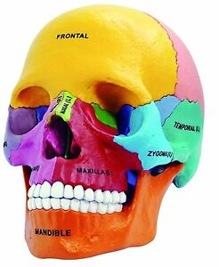 4D DIDACTIC EXPLODED SKULL 1:2 Head human Anatomy 3D Puzzle Model ...