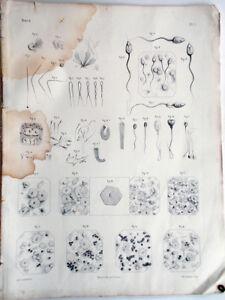 1844-incisione-Litho-Anatomia-Anatomie-Bourgery-Paris-Embryogenie-Embriologia-1