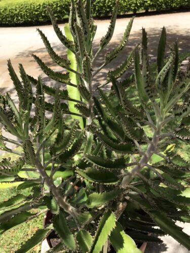 mère de Thousands Succulent Herbal Treatment Plant Aranto Alligator Plant