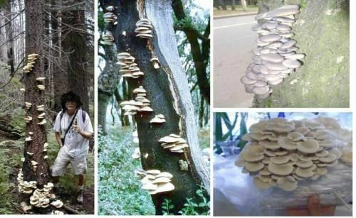 Oyster Mushroom Special Great Deco dekoidee for Ornament of wood for the Garden