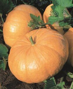 Cucurbita pepo 30 SEEDS Grows up to 600 kg DILLS ATLANTIC GIANT PUMPKIN