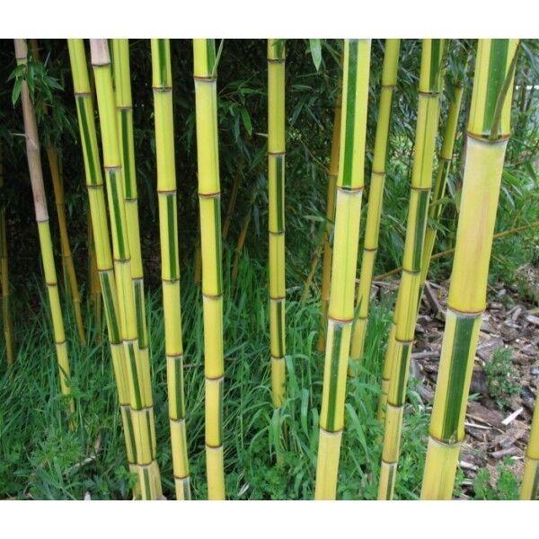 Phyllostachys aureosulcata 'Spectabilis'. 100 bamboo seeds