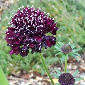 15+Seeds Pincushion Double Purple Flower Seeds Scabiosa Atropurpurea
