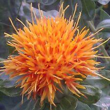 Saffron Seeds - ORANGE - Rare - Easy to Grow - theseedhouse - 50+ Organic Seeds