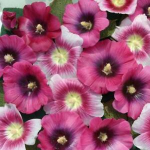 Hollyhock-Seeds-25-Halo-Hollyhock-Perfect-Pink-Seeds-Perennial-Seeds