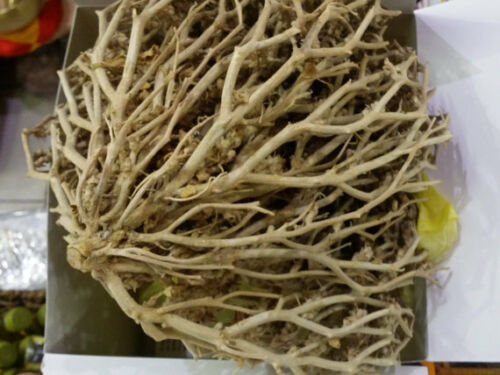 Details about  /Judea desert Dead sea Real Rose of Jericho exclusive original plant with blessin
