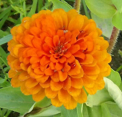 250 ORANGE KING ZINNIA Elegans Flower Seeds + Free Gift